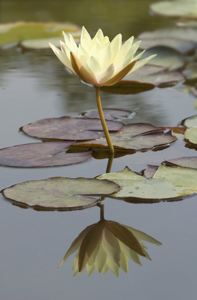 Nymphaea odorata 'Sulphurea Grandiflora', Water lily : Stock Photo