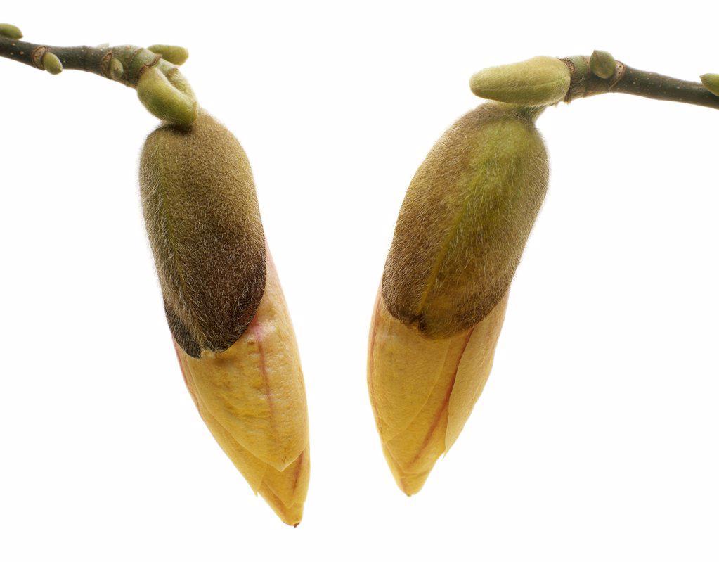 Magnolia, Magnolia : Stock Photo