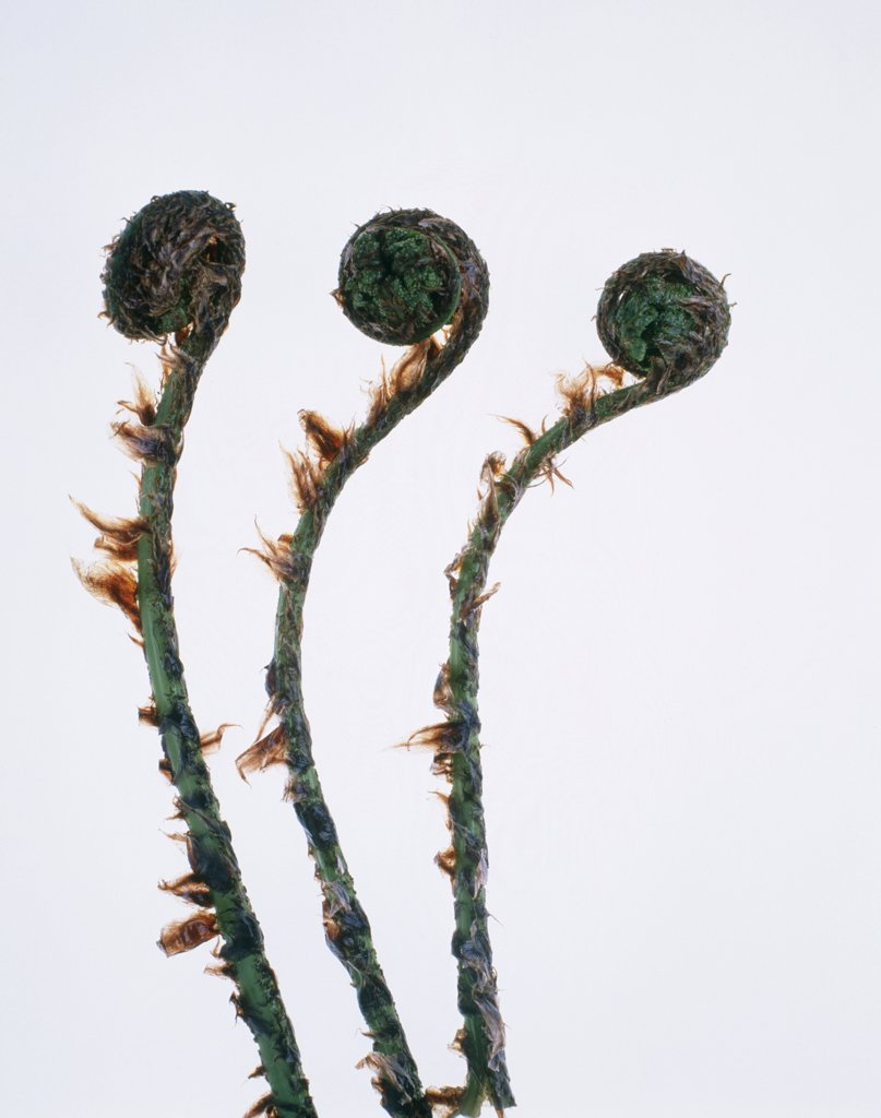 Dryopteris, Fern, Buckler fern : Stock Photo