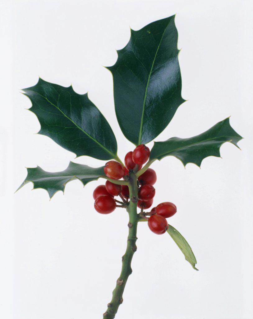 Ilex aquifolium, Holly : Stock Photo