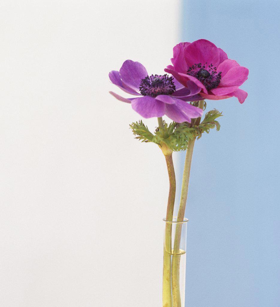 Anemone : Stock Photo
