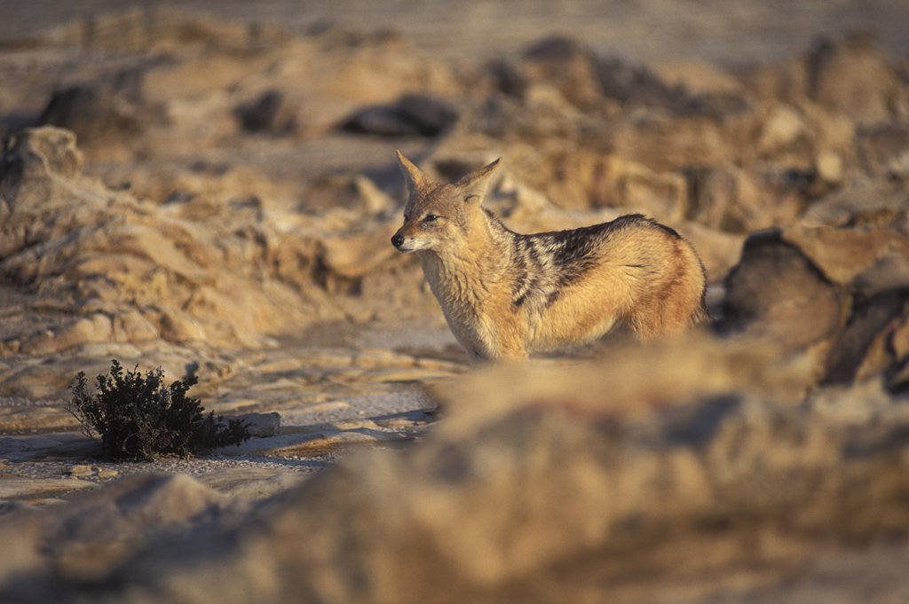 Stock Photo: 1850-44305 Namibia,  Skeleton Coast , Jackal in the Namib Diamond region Skeleton Coast Namibia. This region is off limts due to Diamond mining activiety by De Beers consequently Jackals have no fear of human presence.