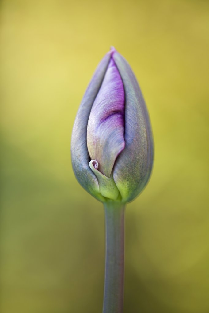 Stock Photo: 1850-44694 Tulip, Tulipa 'Queen of Night', Purple subject.