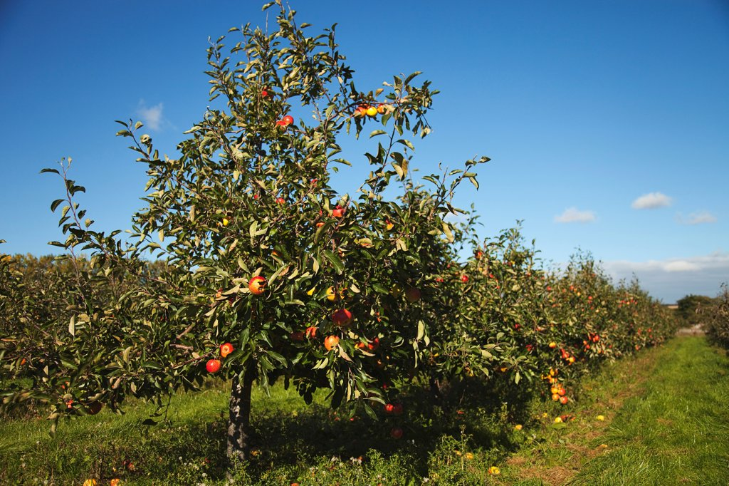 Stock Photo: 1850-45757 Fruit, Apple, Apples growing on the tree in Grange Farms orchard.