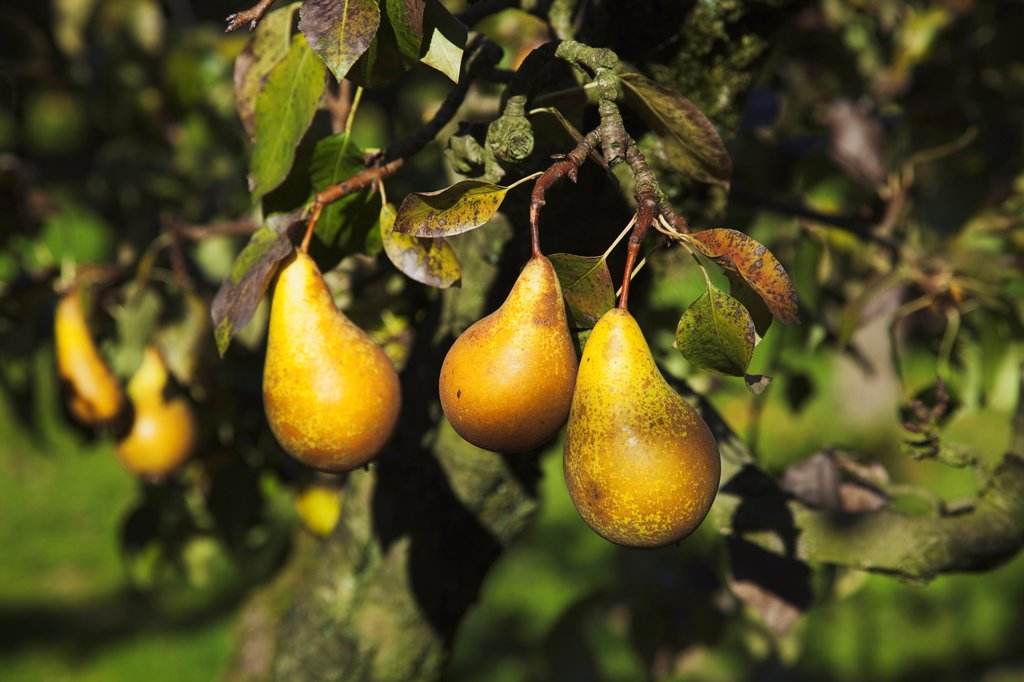 Stock Photo: 1850-45760 Fruit, Pear, Conference Pears ripening on the tree in Grange Farms orchard.