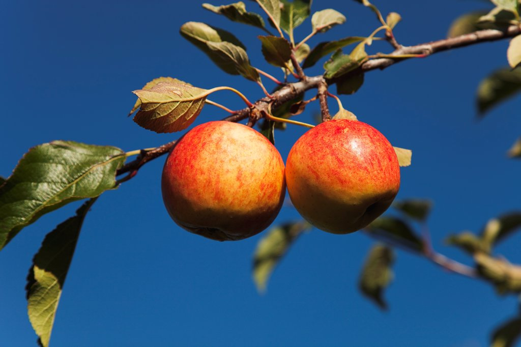 Fruit, Apple, Royal Gala apples growing on the tree in Grange Farms orchard. : Stock Photo