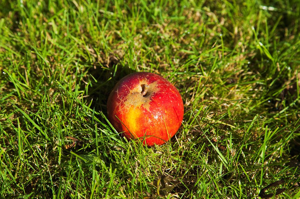 Fruit, Apple, Red apple resting on the grass in Grange Farms orchard. : Stock Photo