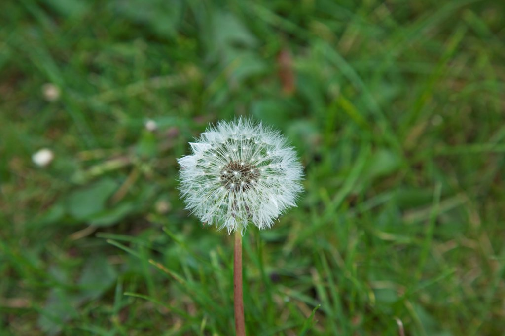Plants, Weeds, Flowers, Dandelion Clock growing amongst grass. : Stock Photo