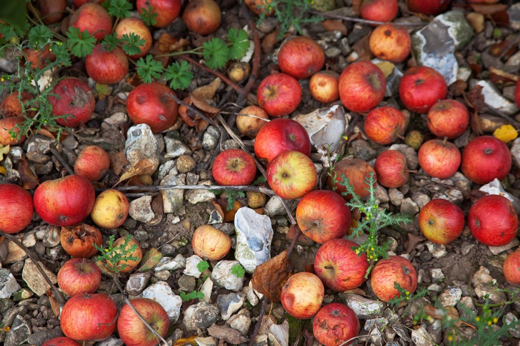 Fruit, Apple, Katy apples rotting on the ground having fallen from the tree in Grange Farms orchard. : Stock Photo