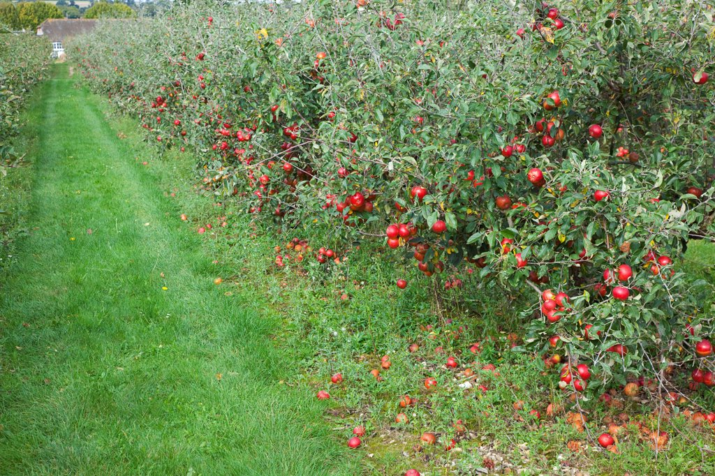 Fruit, Apple, Katy apples growing on the tree in Grange Farms orchard. : Stock Photo