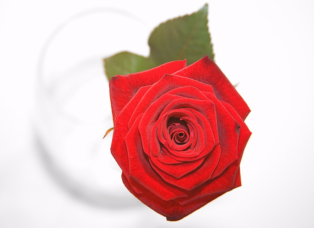 Stock Photo: 1850-45802 Flowers, Single red Rose in a vase viewed from above.