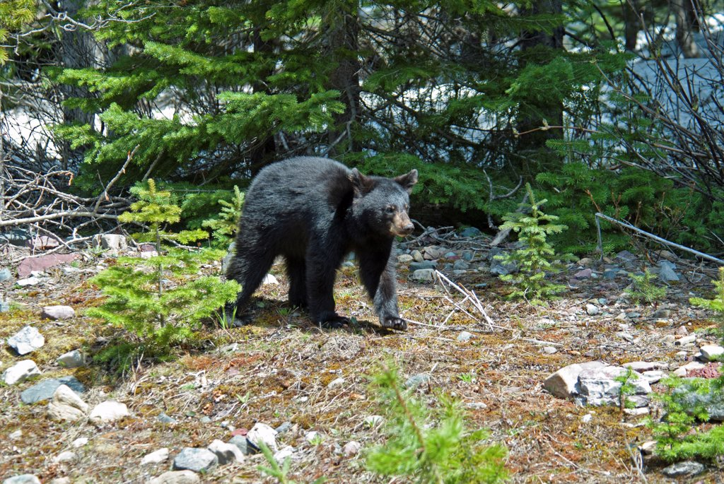Stock Photo: 1850-45814 Canada, Alberta, Waterton Lakes NP, Black Bear cub Ursus americanus at this UNESCO World Heritage Site, Cub is out foraging with its mother and sibling on a sunny evening in late Spring, Remnants of snow in the background and young pine trees in the foreground.