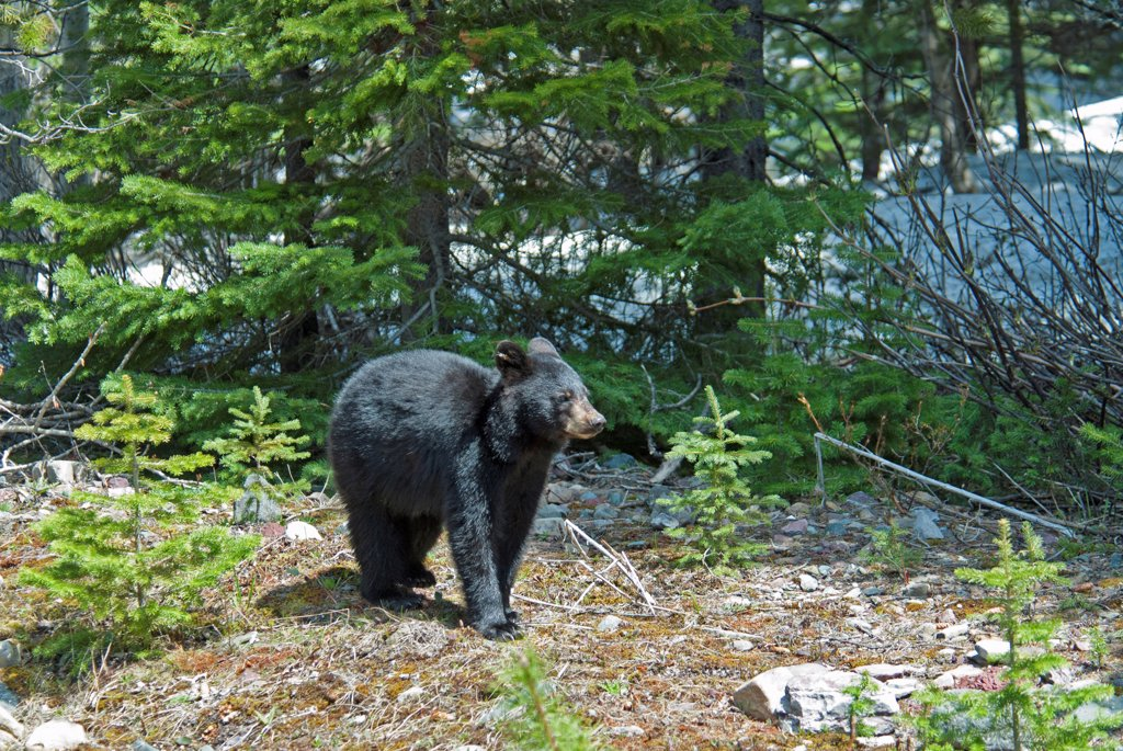 Stock Photo: 1850-45815 Canada, Alberta, Waterton Lakes NP, Black Bear cub Ursus americanus at this UNESCO World Heritage Site, Evening light glinting on black fur, fresh young pine tree growth, remnants of snow in background.