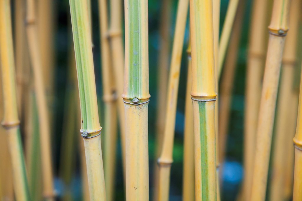 Plants, Tree, Bamboo. : Stock Photo