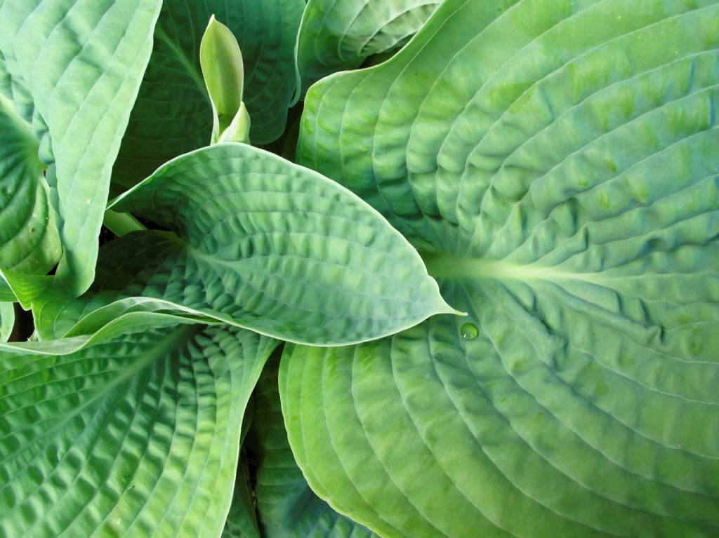 Plants, Hosta, detail of green leaves with a small water droplet. : Stock Photo