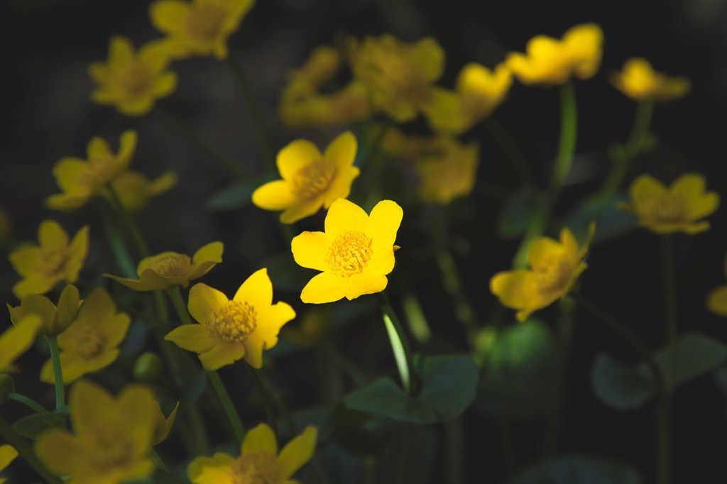Stock Photo: 1850-45868 Plants, Flowers, Marsh Marigolds with dappled sunlight.