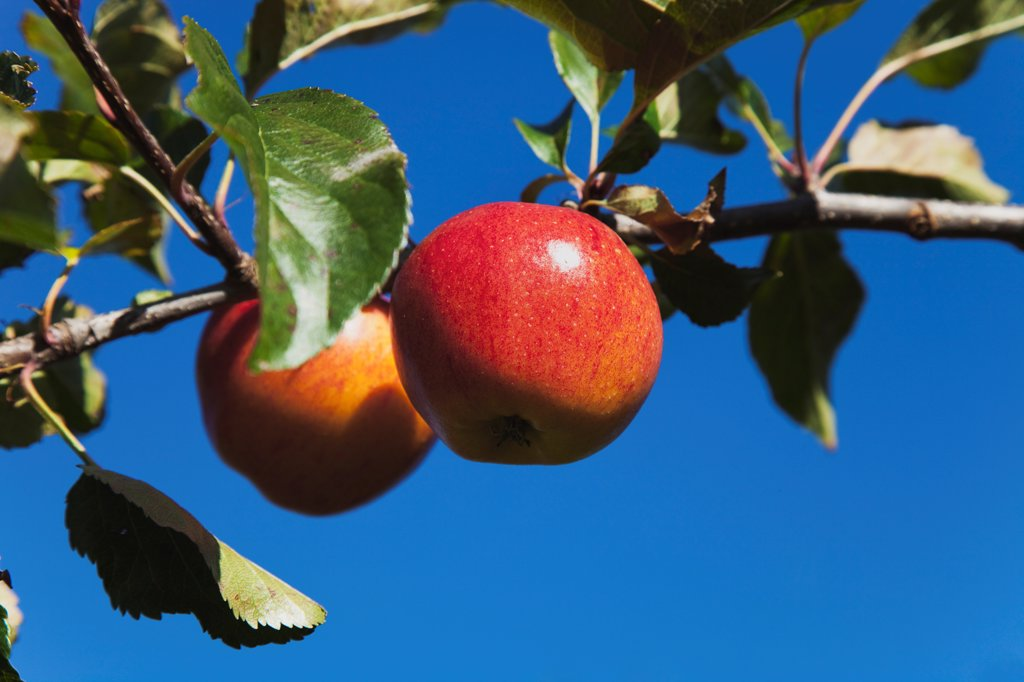 Stock Photo: 1850-45901 Fruit, Apple, Royal Gala apples growing on the tree in Grange Farms orchard.