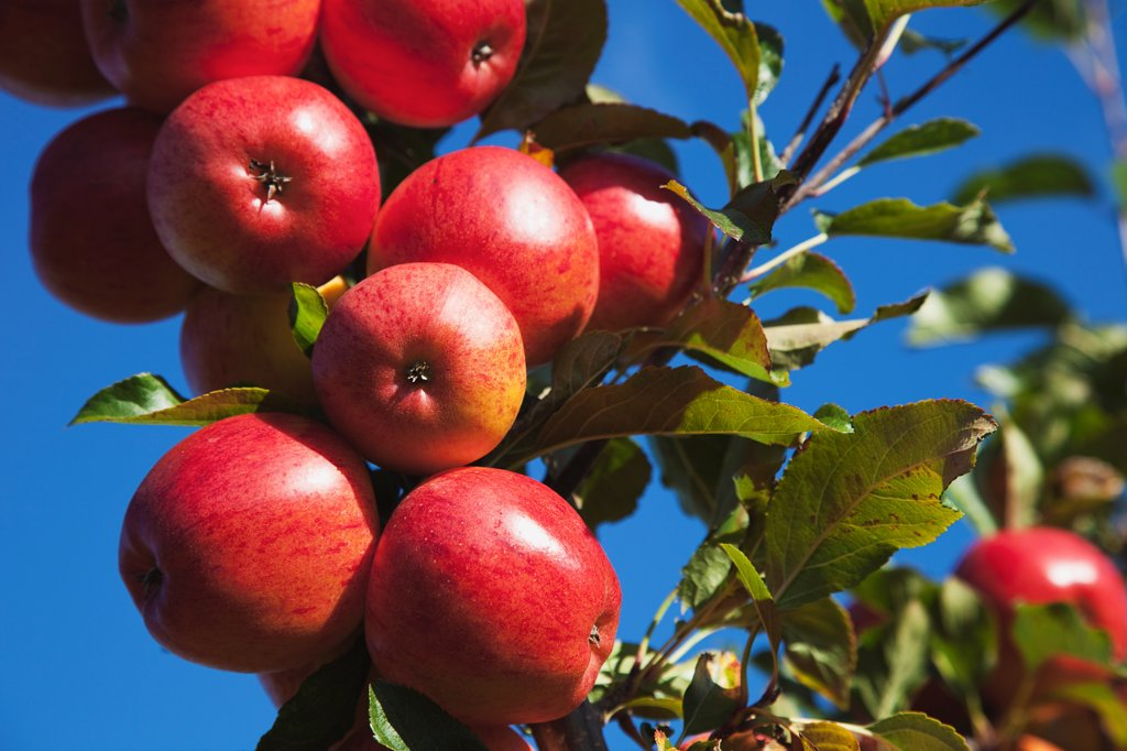 Stock Photo: 1850-45902 Fruit, Apple, Royal Gala apples growing on the tree in Grange Farms orchard.