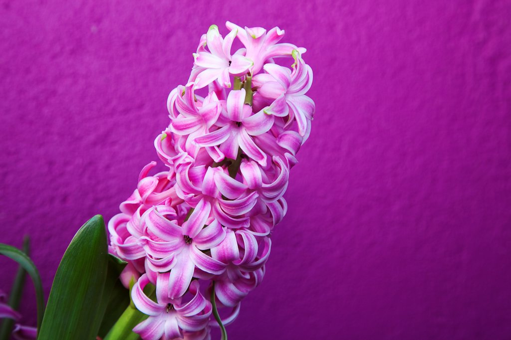Stock Photo: 1850-45920 Plants, Flowers, Hyacinth, Pink Hyacinth against purple background.
