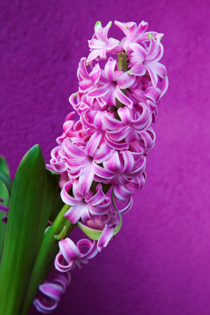 Stock Photo: 1850-45921 Plants, Flowers, Hyacinth, Pink Hyacinth against purple background.