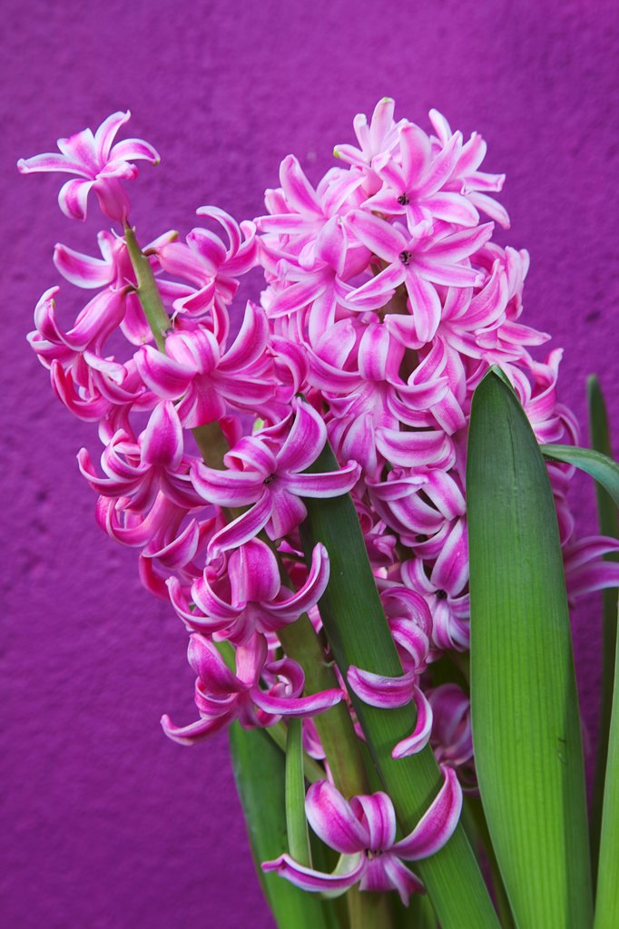 Plants, Flowers, Hyacinth, Pink Hyacinth against purple background. : Stock Photo