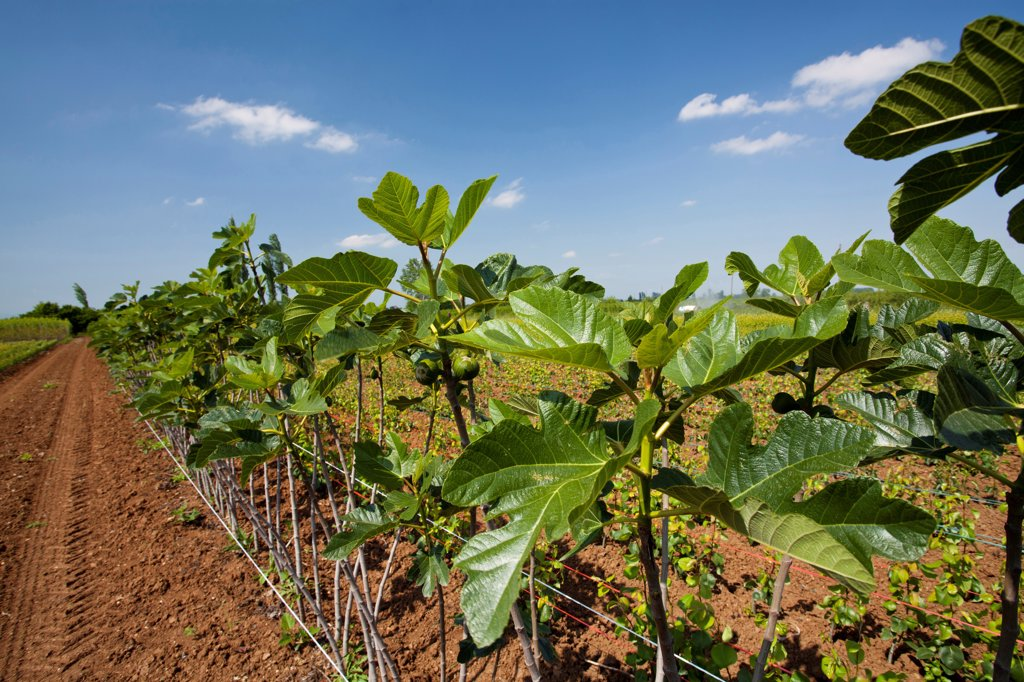 Stock Photo: 1850-45983 Greece, Makedonia, Verioa, young fig trees lined up at a plantation farm.