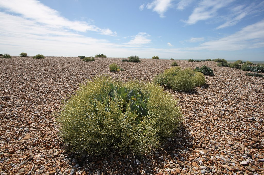 Stock Photo: 1850-46010 England, Kent, Romney Marsh, Dungeness, view across shingle beach with sea Kale in the foreground.