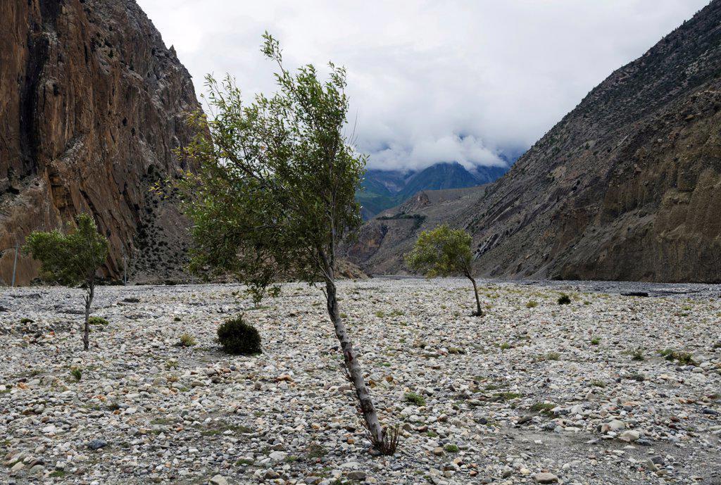 Nepal. Himalayas, Sparse trees at Kali Gandaki rock strewn riverbed. : Stock Photo