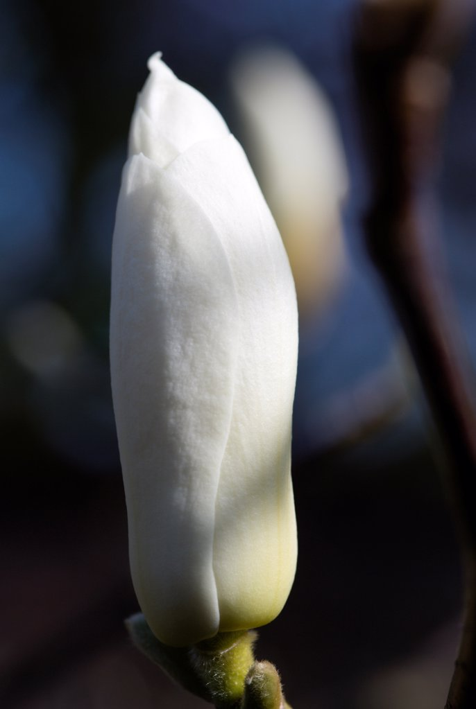 Stock Photo: 1850-47145 Plants, Trees, Magnolia, Magnolia soulangeana Alba Superba Closed white flower bud.