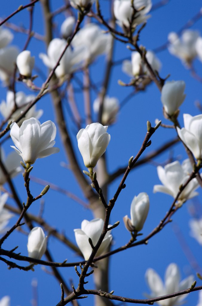 Stock Photo: 1850-47160 Plants, Trees, Magnolia, Magnolia soulangeana Alba Superba Abundant white flowers on branches.