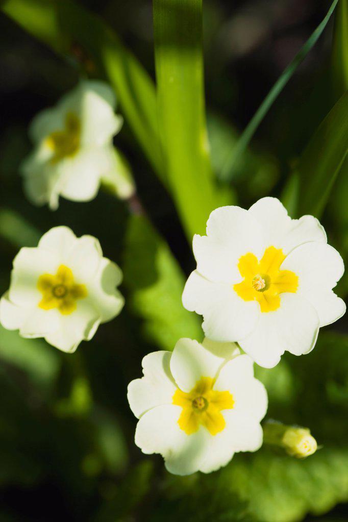 Stock Photo: 1850-47214 Plants, Flowers, Common primrose, Primula vulgaris Lemon yellow flowers.