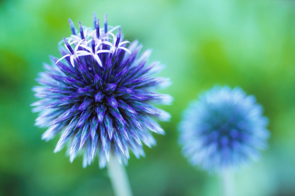 Stock Photo: 1850-47750 Echinops bannaticus, Globe thistle, Blue subject, Green background.