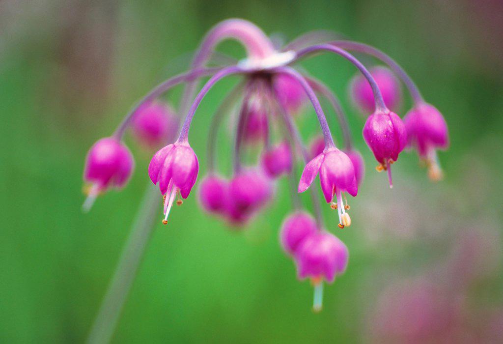 Stock Photo: 1850-47764 Allium cernuum, Allium, Pink subject, Green background.
