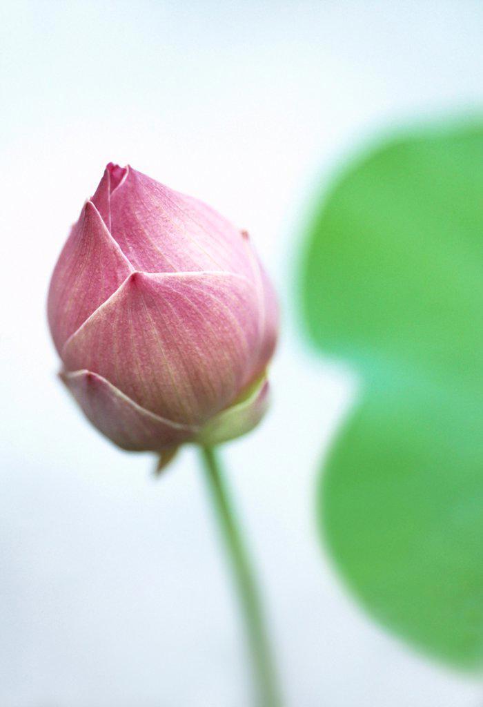 Stock Photo: 1850-47770 Nelumbo nucifera, Lotus, Sacred lotus, Pink subject.
