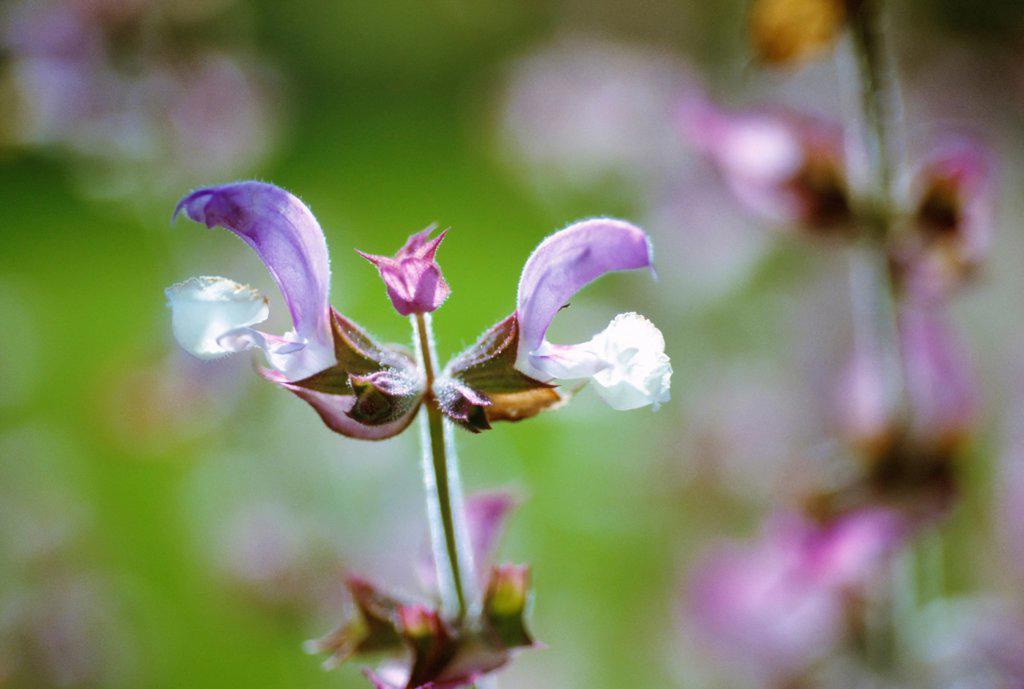 Stock Photo: 1850-47772 Salvia sclarea var turkestanica, Sage, Clary sage, Purple subject.