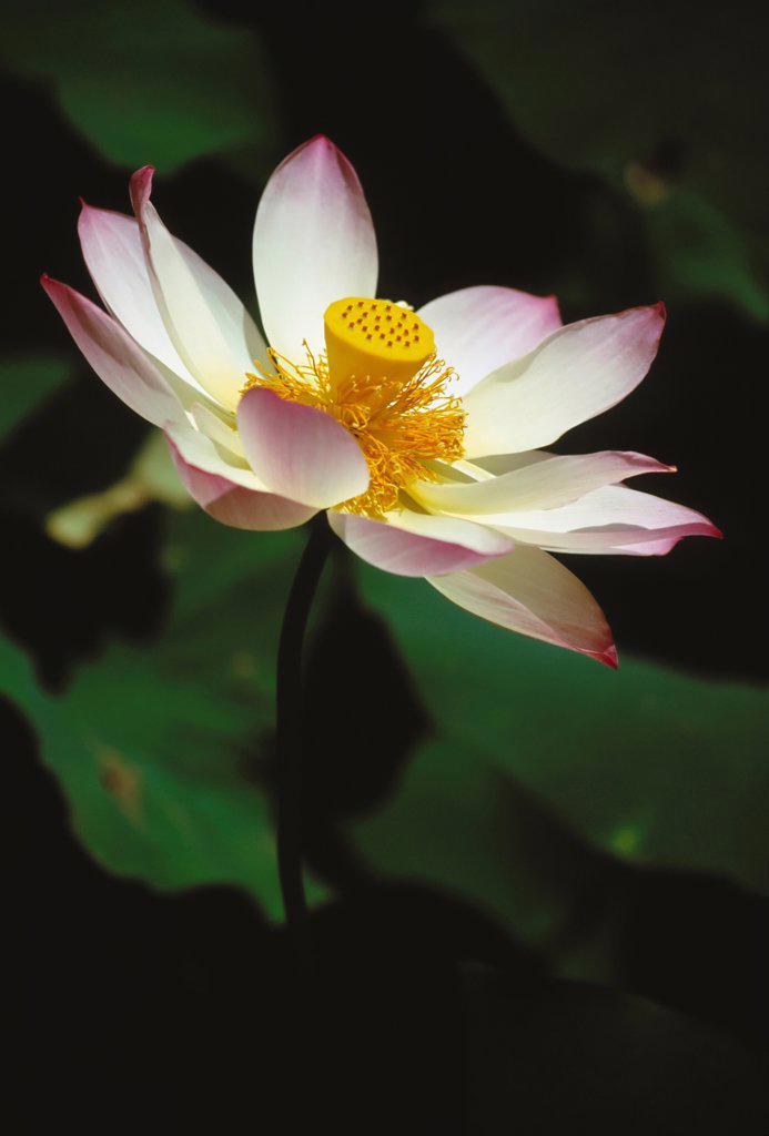 Stock Photo: 1850-47831 Nelumbo nucifera, Lotus, Sacred lotus, Pink subject.
