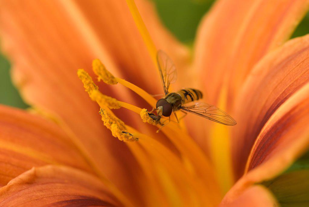 Hemerocallis fulva, Lily, Daylily orange, Orange subject. : Stock Photo