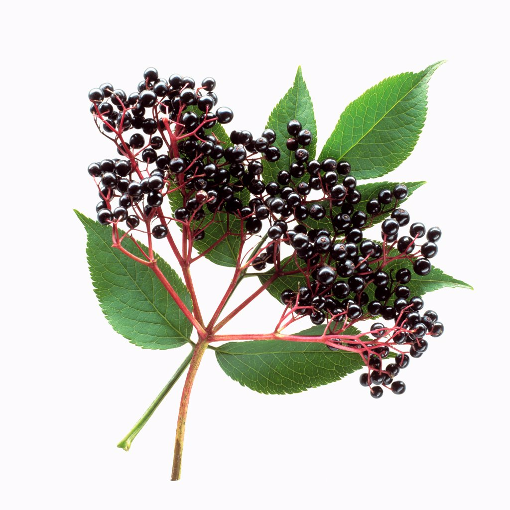 Stock Photo: 1850-47896 Sambucus nigra, Elder, Black subject, White background.