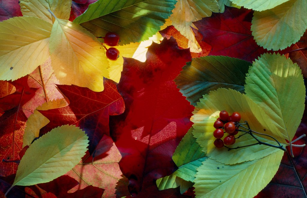 Stock Photo: 1850-47975 Leaf, Leaf, Mixed colours subject.