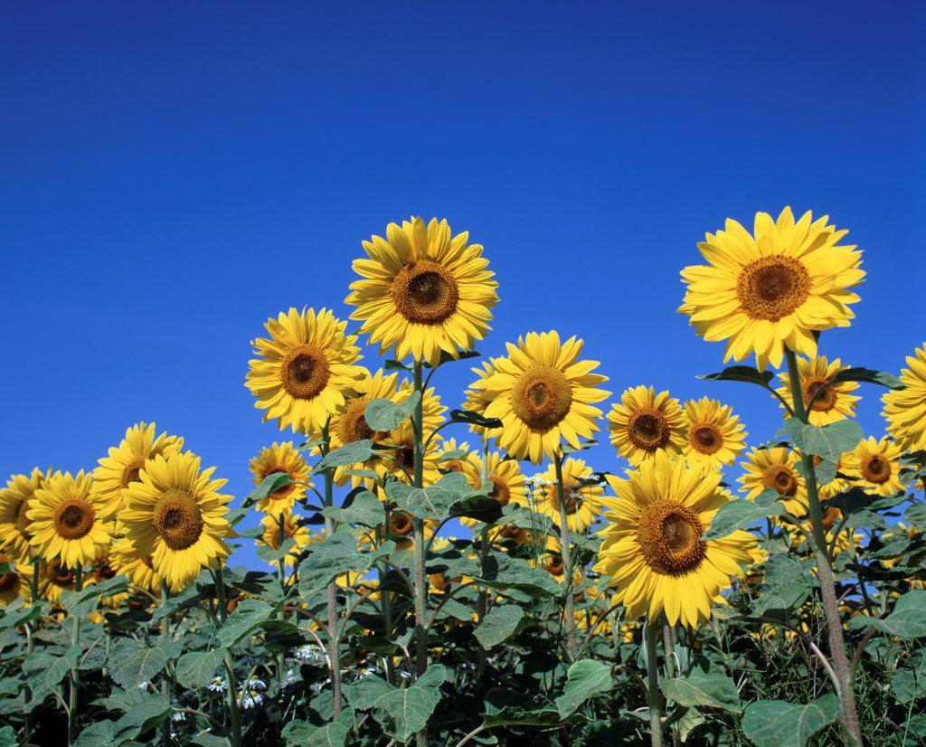 Helianthus annuus, Sunflower, Yellow subject, Blue background. : Stock Photo