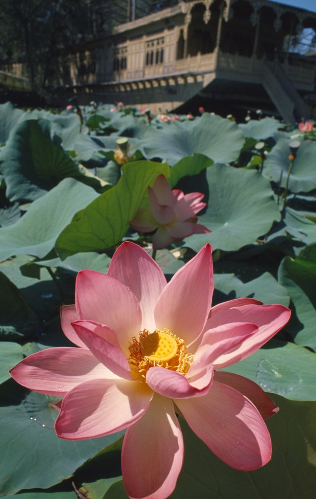 Stock Photo: 1850-48039 Nelumbo nucifera, Lotus, Sacred lotus, Pink subject.