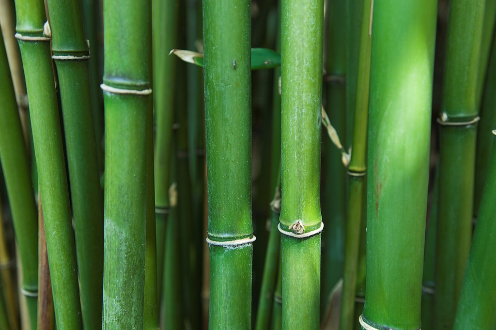 Semiarundinaria Fastuosa, Narihira bamboo, Green subject. : Stock Photo