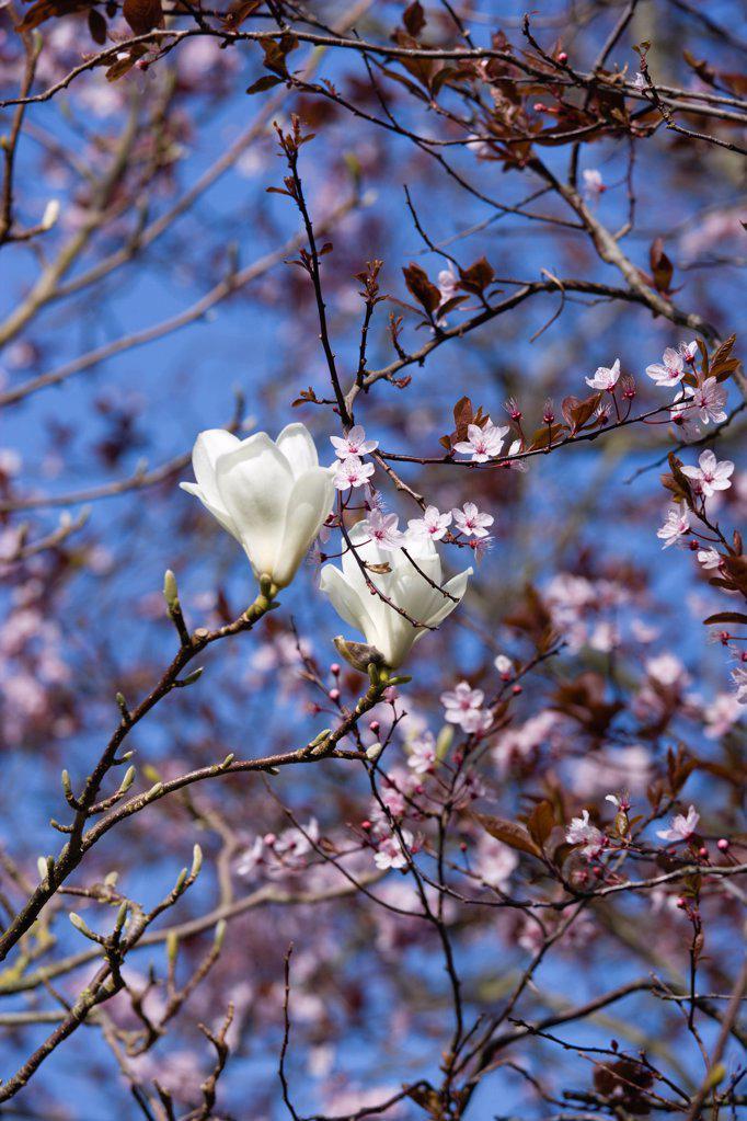 Stock Photo: 1850-48182 Magnolia x soulangeana 'Alba Superba', Magnolia, White subject.