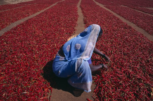 India, Karnataka, Agriculture, Woman Crouching To Check Red Chillies Spread Out To Dry On Ground. : Stock Photo