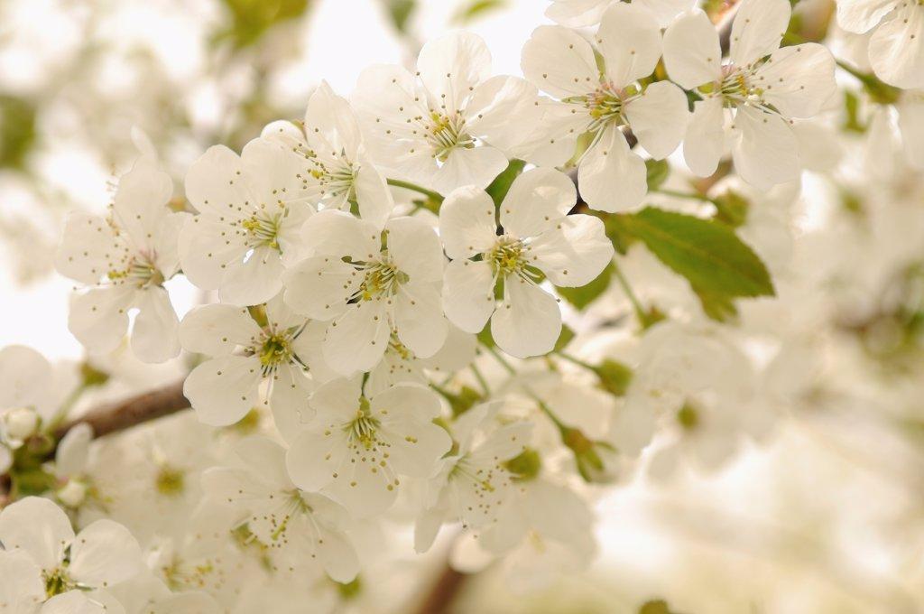 Prunus avium, Cherry, Wild Cherry, White subject. : Stock Photo