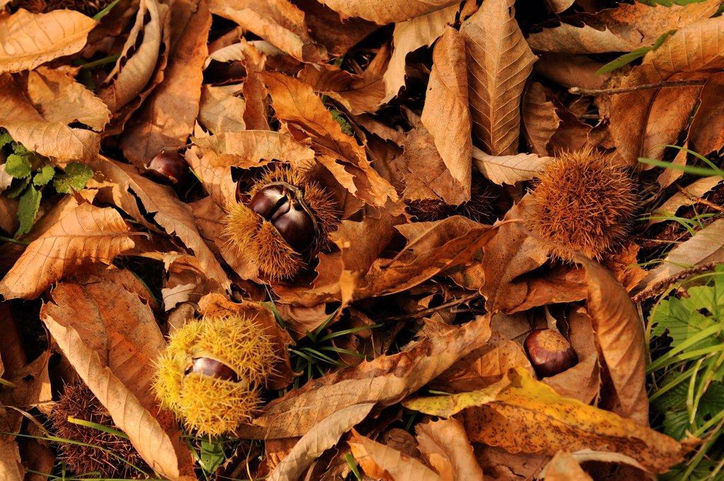 Stock Photo: 1850-48207 Castanea sativa, Chestnut, Sweet chestnut, Brown subject.