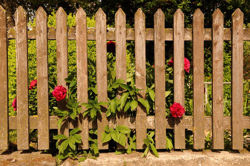 Paeonia lactiflora, Peony, Red subject. : Stock Photo