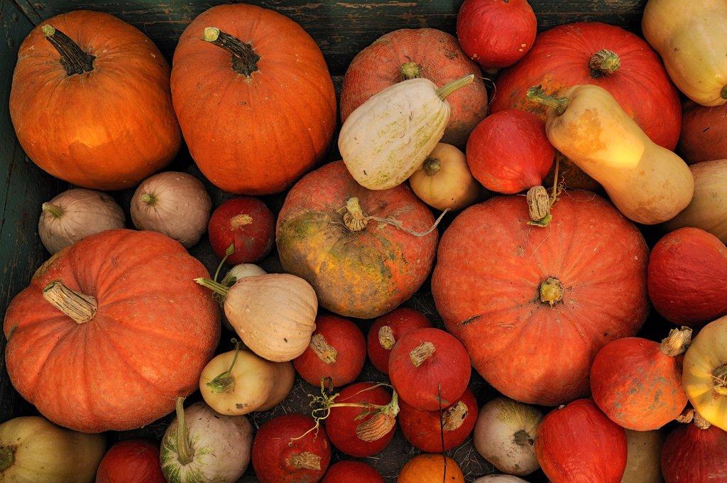 Stock Photo: 1850-48236 Cucurbita maxima, Pumpkin, Orange subject.