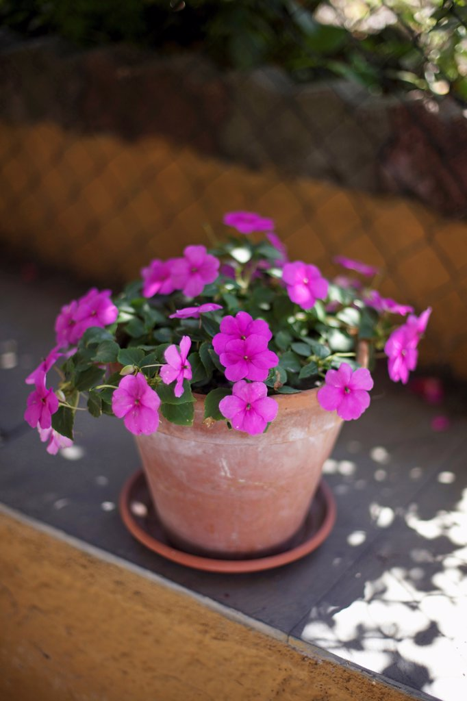 Impatiens cultivar, Bizzy lizzie, Pink subject. : Stock Photo