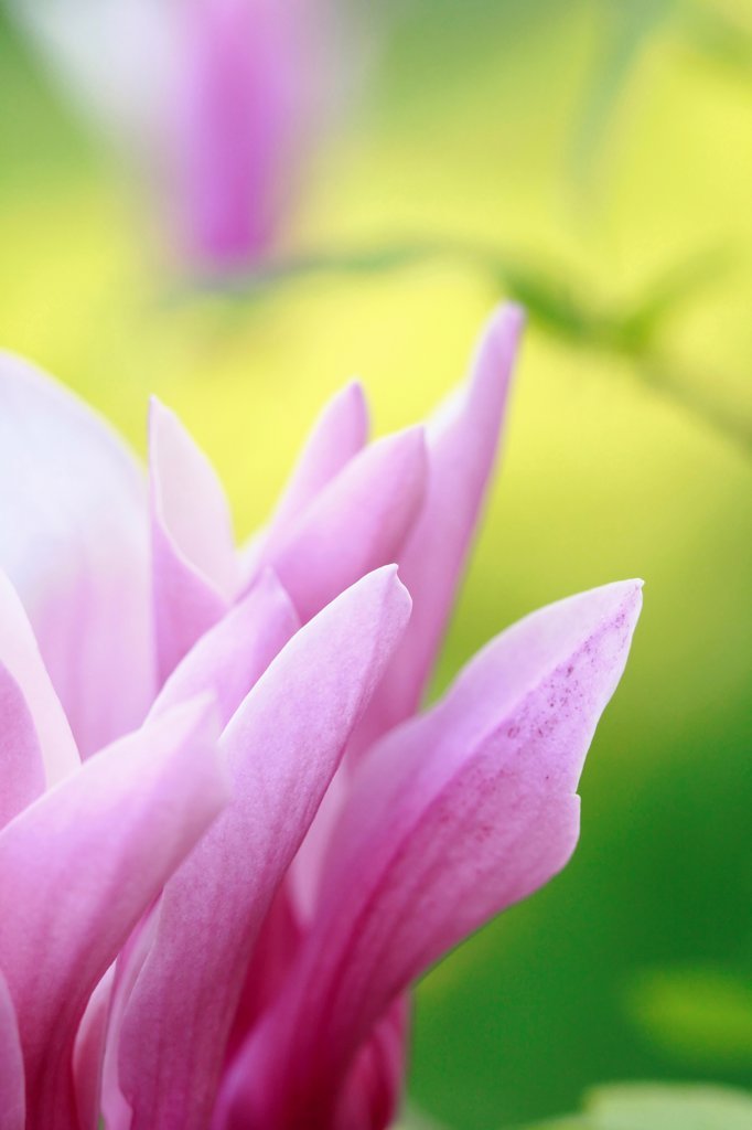 Magnolia liliiflora, Magnolia, Lily magnolia, Pink subject. : Stock Photo